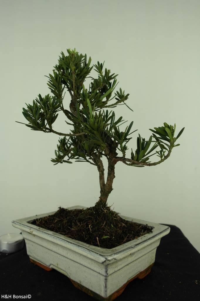 Bonsai Chin. Steineibe, Podocarpus, nr. 7417