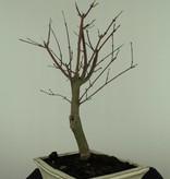 Bonsai Jap. Fächerahorndeshojo, Acer palmatum deshojo, nr. 7422