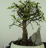 Bonsai Chin. Ulme mit Stein, Ulmus, nr. 7428