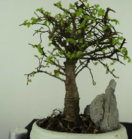 Bonsai Chinese Elm with rock, Ulmus, no. 7428