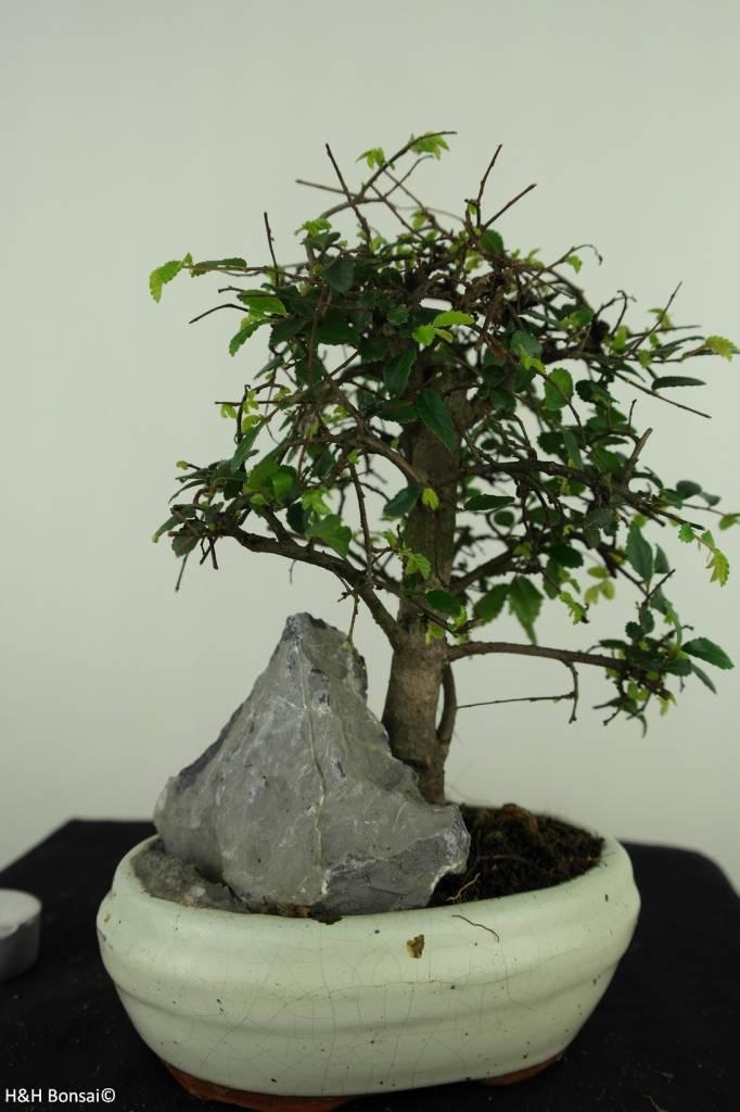 Bonsai Chin. Ulme mit Stein, Ulmus, nr. 7429