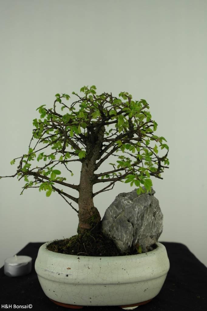 Bonsai Chin. Ulme mit Stein, Ulmus, nr. 7430