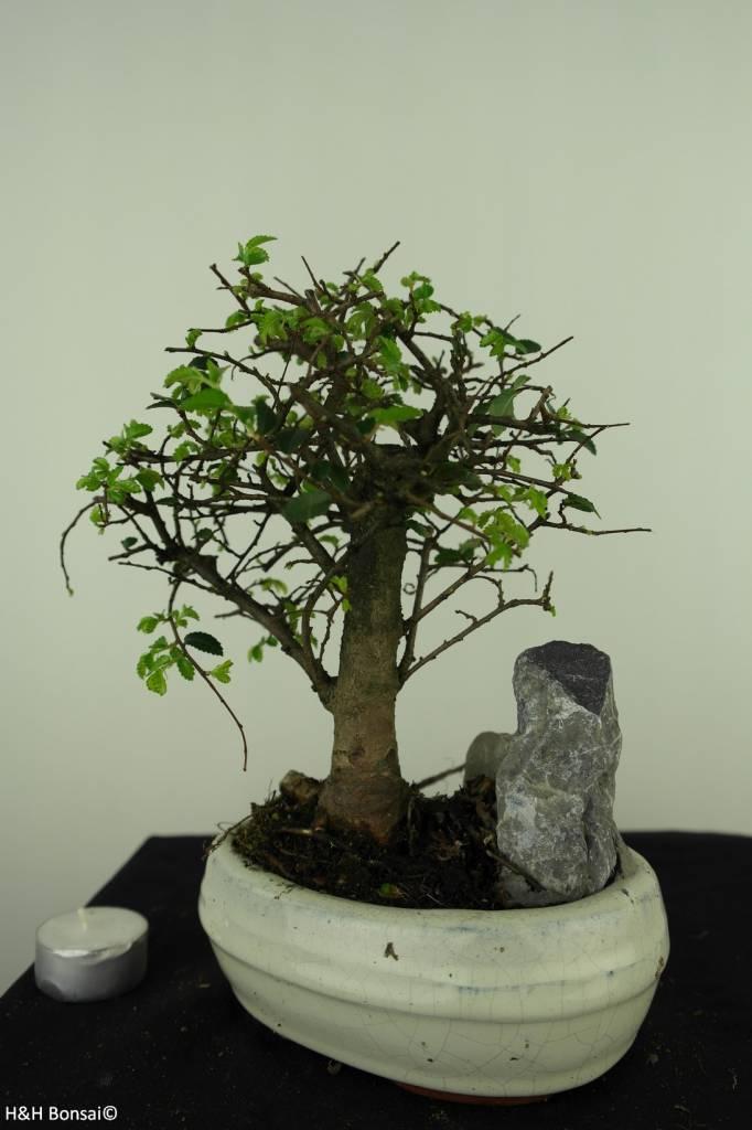 Bonsai Chin. Ulme mit Stein, Ulmus, nr. 7432
