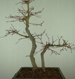Bonsai Japanese maple, Acer palmatum, no. 7446