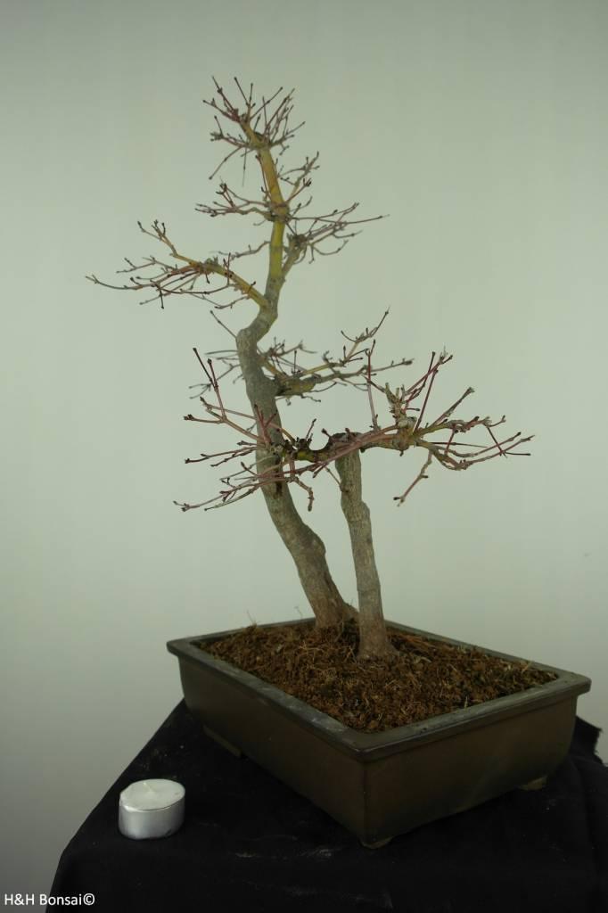 Bonsai Acer palmatum, Japanse esdoorn, nr. 7446