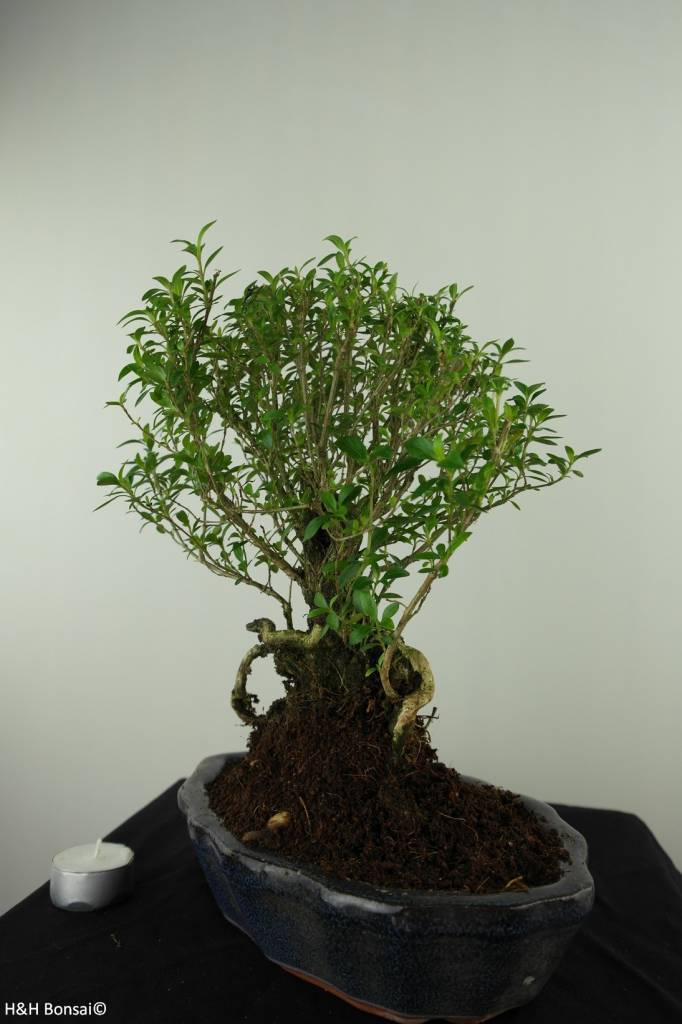 Bonsai Junischnee, Serissa foetida, nr. 7453