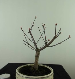 Bonsai Jap. Fächerahorndeshojo, Acer palmatum deshojo, nr. 7469