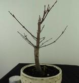 Bonsai Jap. Fächerahorndeshojo, Acer palmatum deshojo, nr. 7471
