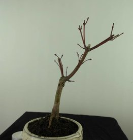 Bonsai Japanese Red Maple, Acer palmatum deshojo, no. 7472