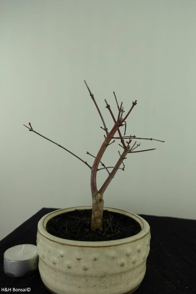 Bonsai Jap. Fächerahorndeshojo, Acer palmatum deshojo, nr. 7473