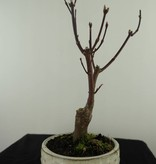 Bonsai Roter Fächerahorn, Acer palmatum Atropurpureum, nr. 7483