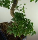 Bonsai Ligustrum nitida, nr. 7497