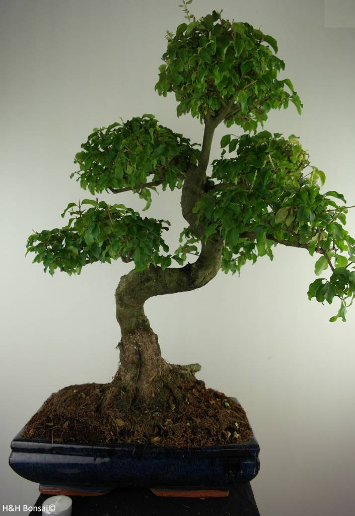 Bonsai Privet, Ligustrum nitida, no. 7499