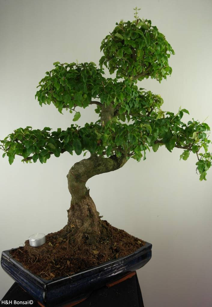 Bonsai Ligustrum nitida, nr. 7499