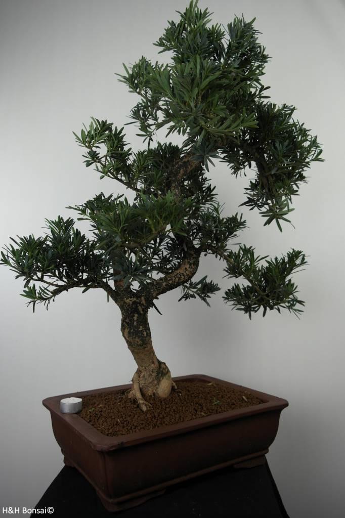 Bonsai Chin. Steineibe, Podocarpus, nr. 7502