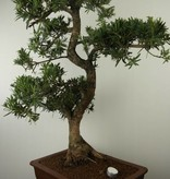 Bonsai Buddhist Pine, Podocarpus, no. 7503