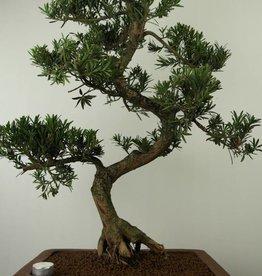 Bonsai Buddhist Pine, Podocarpus, no. 7504