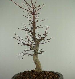 Bonsai Japanese Red Maple, Acer Palmatum deshojo, no. 7507
