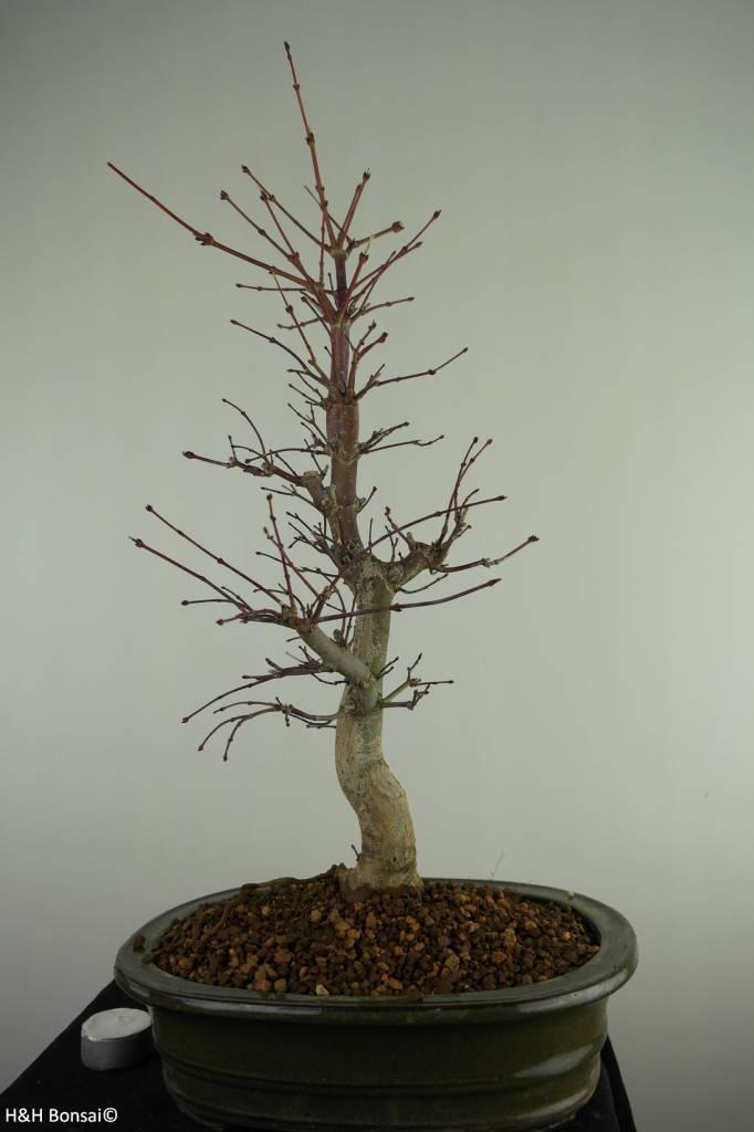 Bonsai Jap. Fächerahorndeshojo, Acer palmatum deshojo, nr. 7507