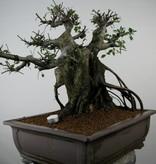 Bonsai Chin. Ulme, Ulmus, nr. 7510
