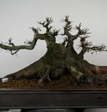 Bonsai Chinese Elm, Ulmus, no. 7513