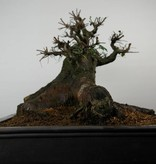 Bonsai Chin. Ulme, Ulmus, nr.7513