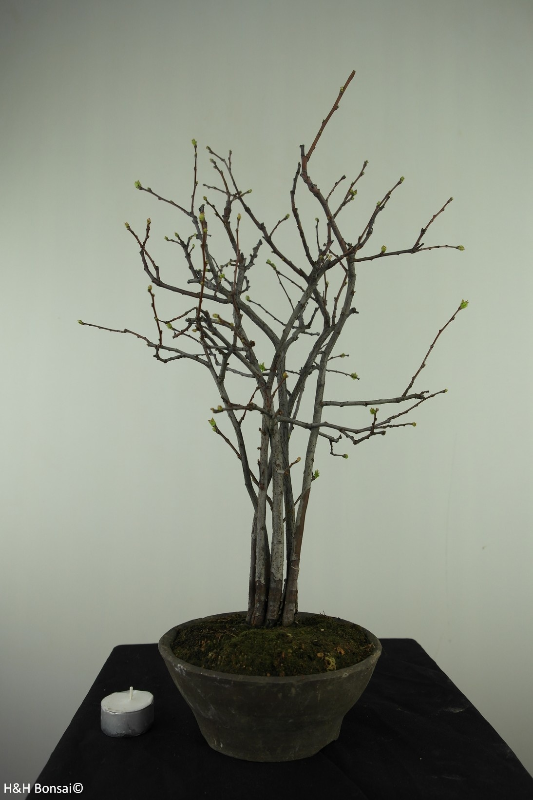 Bonsai Zierquitte, Chaenomeles sinensis, nr. 7511A