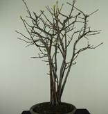 Bonsai Zierquitte, Chaenomeles sinensis, nr. 7512A