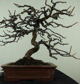 Bonsai Chin. Quitte, Pseudocydonia sinensis, nr. 7515