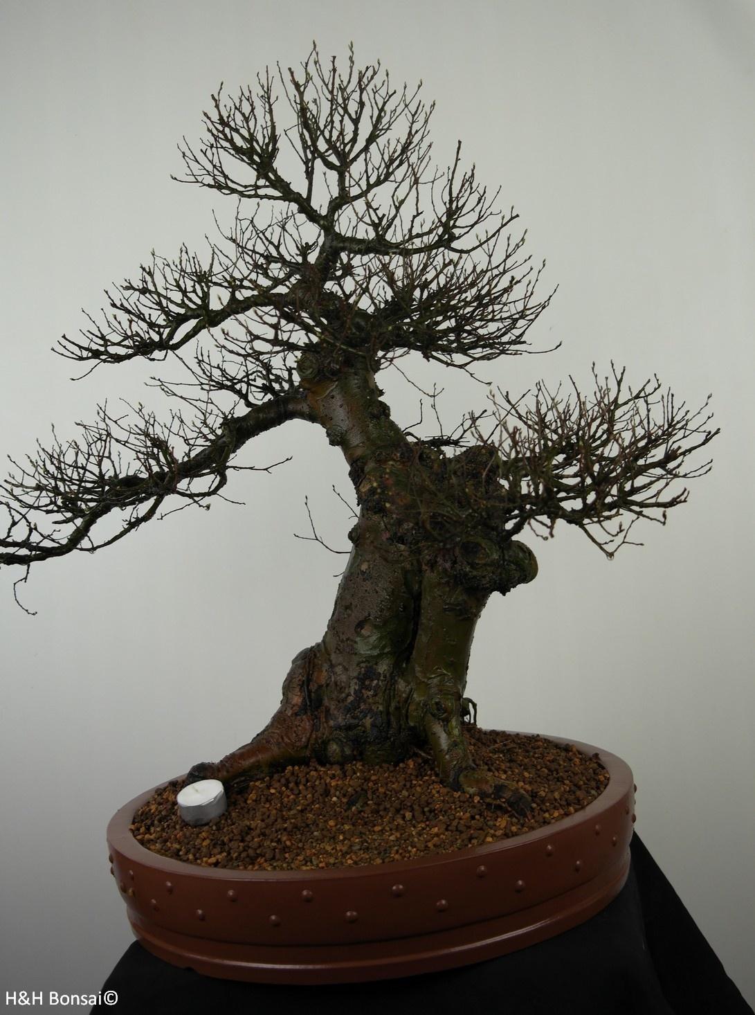 Bonsai Chinese Elm, Ulmus, no. 7519