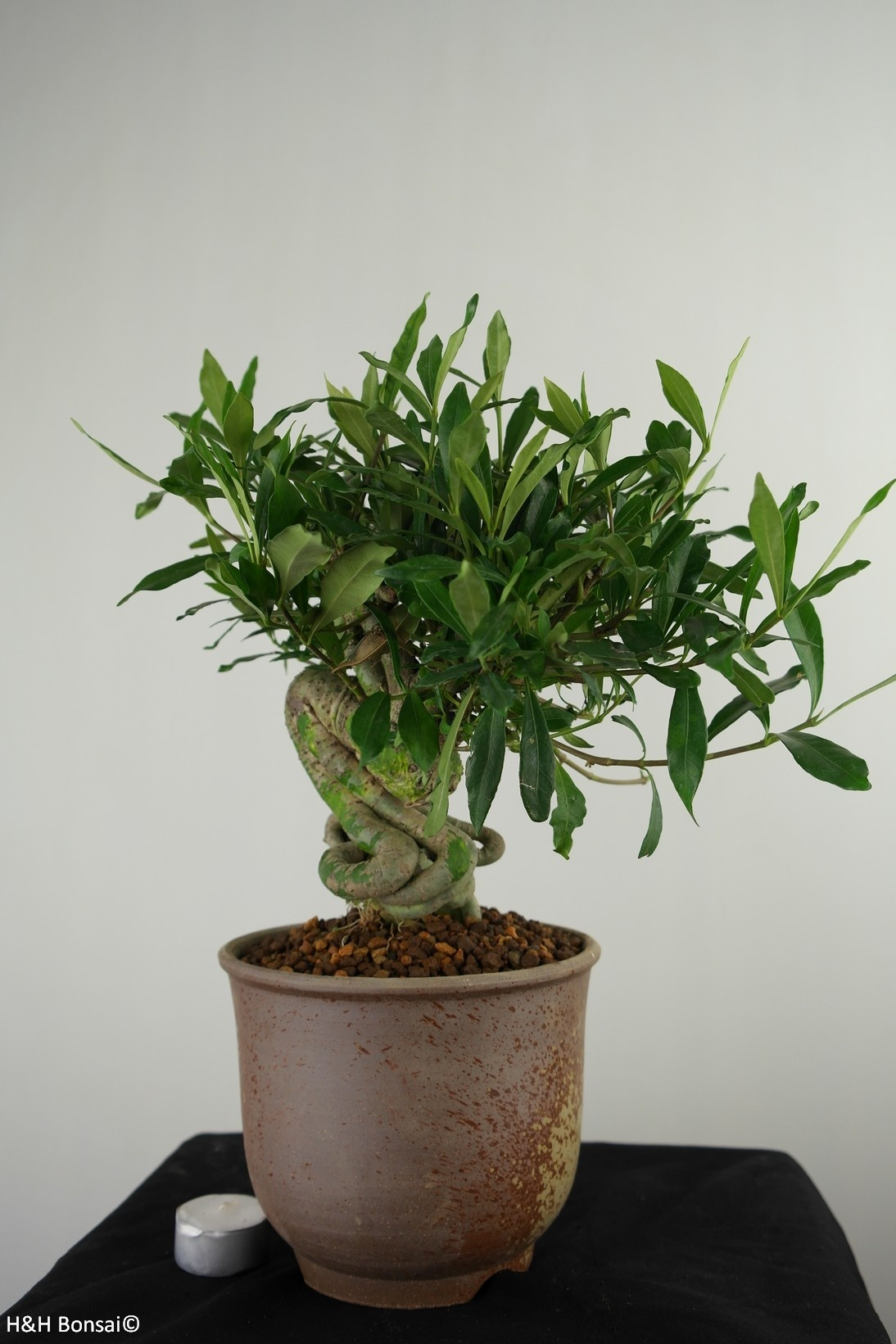 Bonsai Gardenia jasminoides, no. 7521