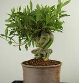 Bonsai Gardenie, Gardenia jasminoides, nr. 7521