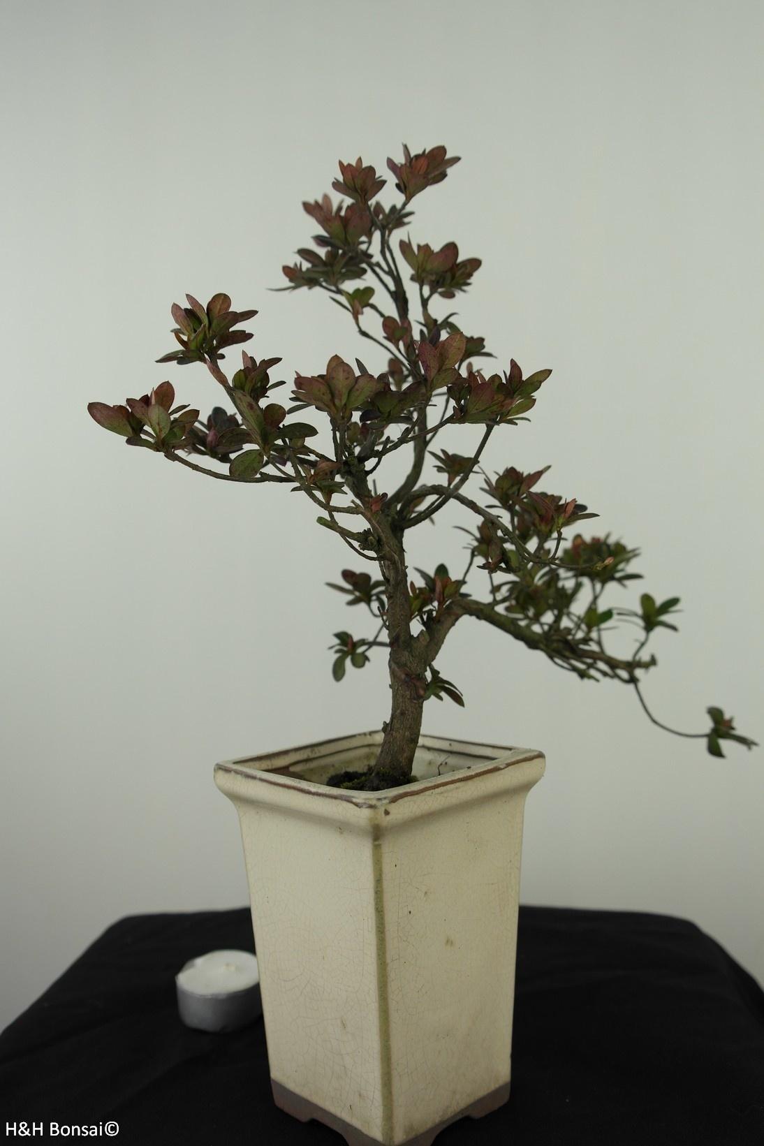 Bonsai Azalee, Azalea Rhododendron indicum, nr. 7535