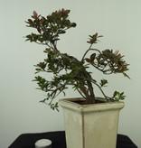 Bonsai Azalee, Azalea Rhododendron indicum, nr. 7536