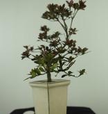 Bonsai Azalee, Azalea Rhododendron indicum, nr. 7537