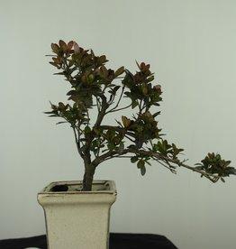 Bonsai Azalee, Azalea Rhododendron indicum, nr. 7540