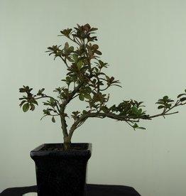 Bonsai Azalee, Azalea Rhododendron indicum, nr. 7541