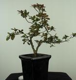 Bonsai Azalea Rhododendron indicum, no. 7541