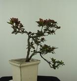Bonsai Azalee, Azalea Rhododendron indicum, nr. 7542