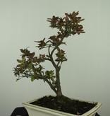 Bonsai Azalee, Azalea Rhododendron indicum, nr. 7555