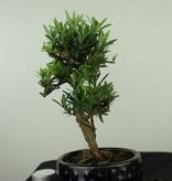 Bonsai Chin. Steineibe, Podocarpus, nr. 7563