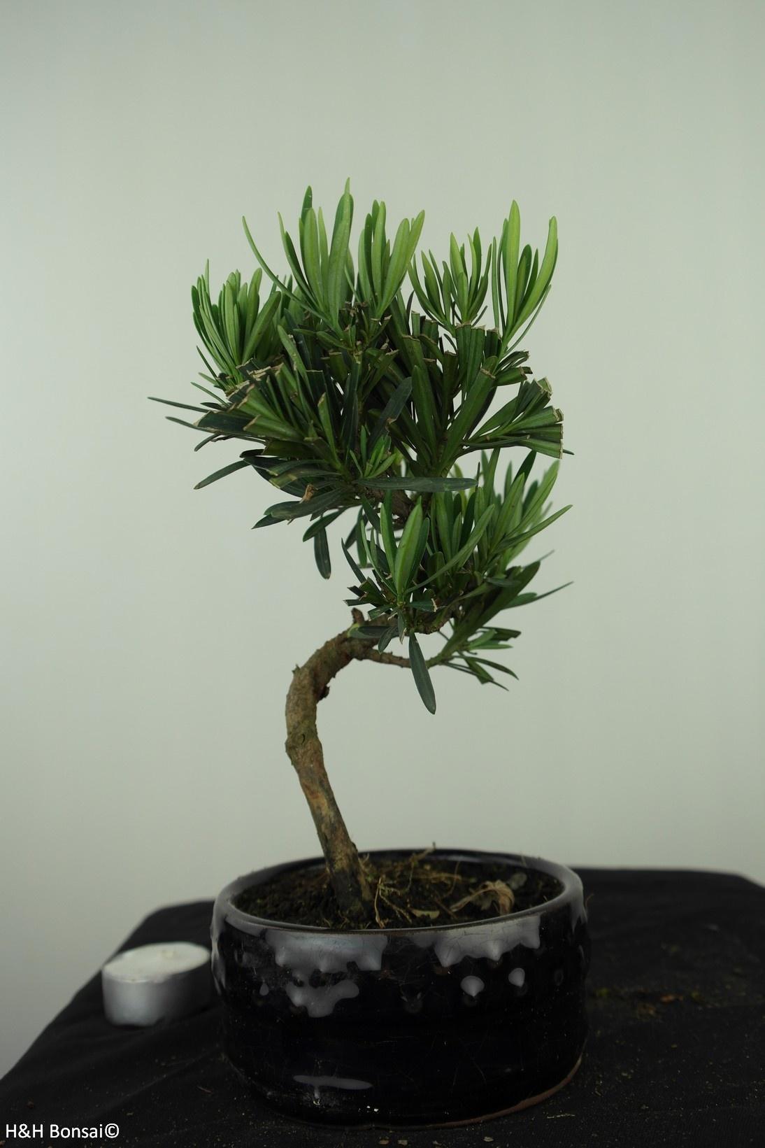 Bonsai Chin. Steineibe, Podocarpus, nr. 7564