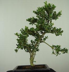 Bonsai Japanese Holly, Ilexcrenata, no. 7566