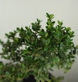 Bonsai Japanische Stechpalme, Ilex crenata, nr. 7566