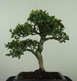 Bonsai Japanese Holly, Ilexcrenata, no. 7567