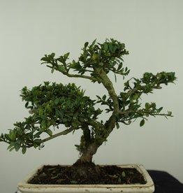 Bonsai Japanese Holly, Ilexcrenata, no. 7568