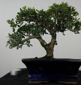Bonsai Japanese Holly, Ilexcrenata, no. 7569