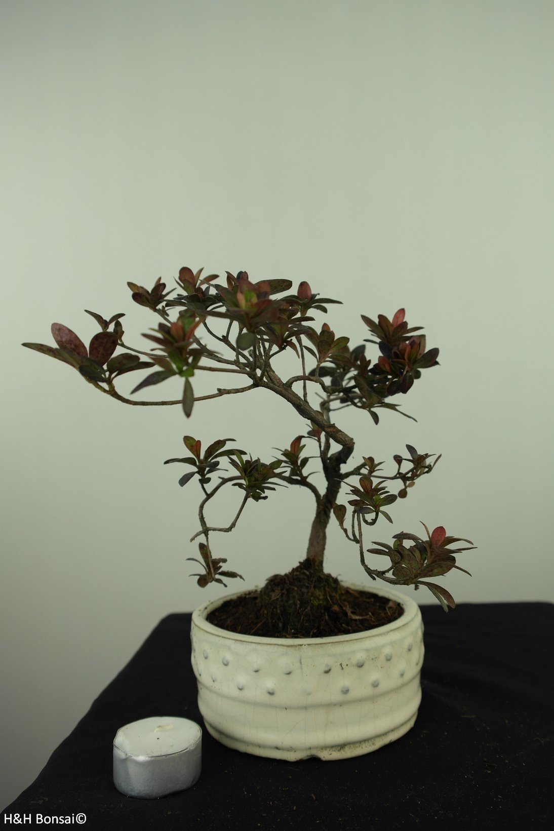 Bonsai Azalee, Azalea Rhododendron indicum, nr. 7574