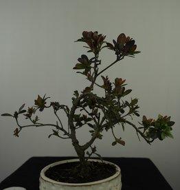 Bonsai Azalee, Azalea Rhododendron indicum, nr. 7575