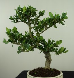 Bonsai Japanese Holly, Ilex crenata, no. 7583